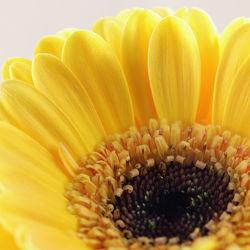 Bild mit Gelb, Natur, Blumen, Gerberas, Blume, Gerbera, Blüten, blüte, Blütenblätter