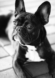 Bild mit Tiere, Haustiere, Hunde, Tier, Hund, Hundebild, französische Bulldogge, Frenchie