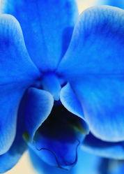 Bild mit Pflanzen, Blumen, Blau, Orchideen, Blume, Orchidee, Pflanze, blue