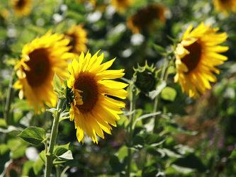 Bild mit Pflanzen, Blumen, Sonnenblumen, Blume, Pflanze, Sonnenblume, Sonnenblumenfeld