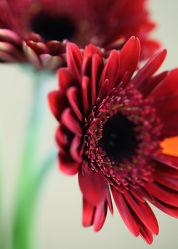 Bild mit Blumen, Gerberas, Blume, Gerbera, Blüten, Makros, blüte, gerberablüten, Blumenbilder