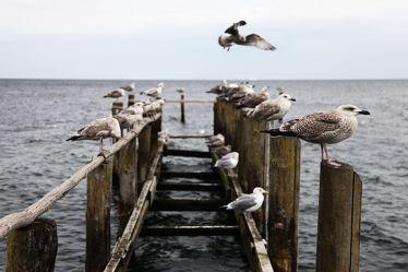 Bild mit Vögel, Möwen, Steg, Möwe, Möve, Am Meer, Ostseebilder, Möven