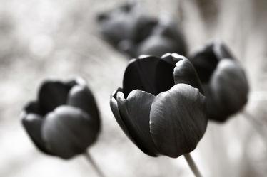 Bild mit Blumen, Blume, Tulpe, Tulpen, schwarz weiß, SW