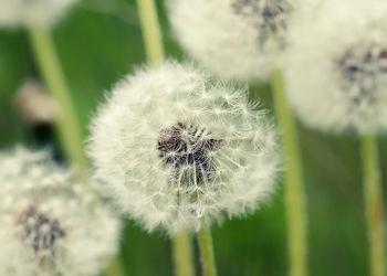 Bild mit Natur, Blume, Makro, Löwenzahn, Pusteblume, Pusteblumen, Blumenbild, Blumenbilder