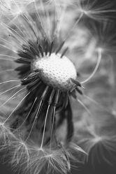 Bild mit Natur, Blume, Makro, Löwenzahn, Pusteblume, Pusteblumen, schwarz weiß, SW, Blumenbild, Blumenbilder