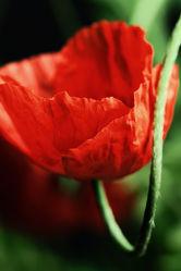 Bild mit Blumen, Mohn, Blume, Mohnblume, Poppy, Poppies, Mohnfeld, Blüten, Mohnblumen