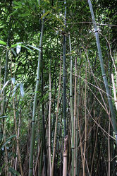 Bild mit Natur, Pflanzen, Bambus, Wald, Blätter, Pflanze, Blatt, bambuswald, Bambusmotiv, Bambusblatt, Bambusblätter