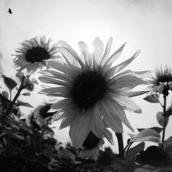 Bild mit Pflanzen,Blumen,Sommer,Sonnenblumen,Blume,Pflanze,Flower,Flowers,Sonnenblume,Sunflower,schwarz weiß,summer,SW,Blumenbild