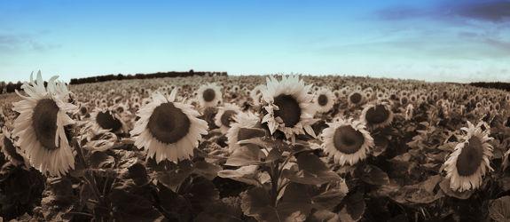 Bild mit Pflanzen, Blumen, Sommer, Sonnenblumen, Blume, Pflanze, Flower, Flowers, Sonnenblume, Sunflower, sepia, summer, Blumenbild
