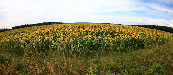 Sonnenblume 40