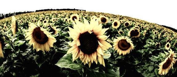 Bild mit Pflanzen, Blumen, Sommer, Sonnenblumen, Blume, Pflanze, Flower, Flowers, Sonnenblume, Sunflower, VINTAGE, summer, Blumenbild