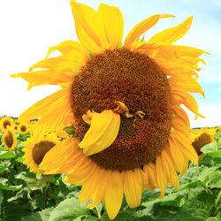 Bild mit Sommer, Sonnenblumen, Blume