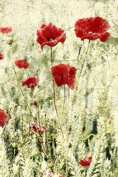 Bild mit Kunst, Natur, Blumen, Mohn, Blume, Mohnblume, Poppy, Poppies, Flower, Bilder