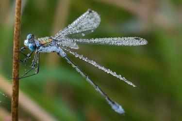 Bild mit Tiere, Insekten, Tier, Wassertropfen, Wasserperlen, Tropfen, Libellen, Tierisches, Libelle, Tau, Insekt