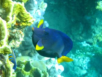 Blauer Segelflosser