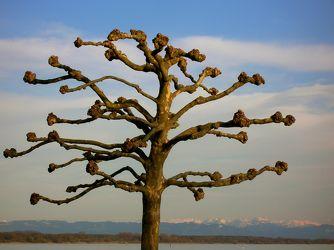 Baum am Bodensee