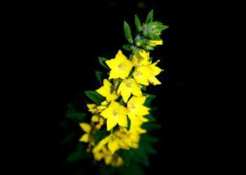 Gelbe Pracht in der Nacht