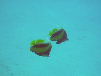Rotmeer-Wimpelfische