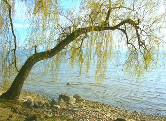 Ufer mit Trauerweide