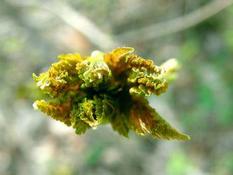 Blätter-Entfaltung
