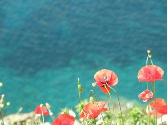 Mohnblumen an der Küste