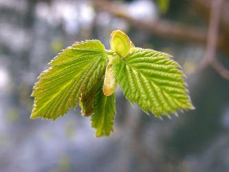 Entfaltung junger Blätter