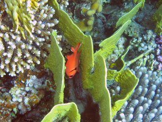 Roter Fisch in Korallen