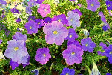 Blau-violette Blumen