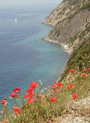 Mohn-Blumen am Meer