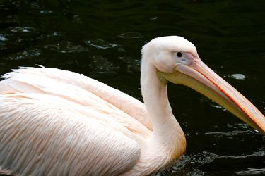 Rosa-Pelikan