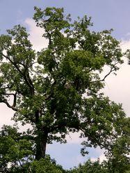 GroÃ?er alter Baum