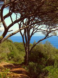 Pinienbäume am Meer