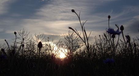 Kornblumen im Abendlicht