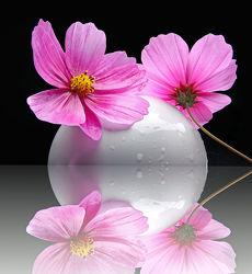 Cosmea-Blüten
