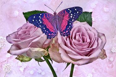 Rosen-Schmetterling 2
