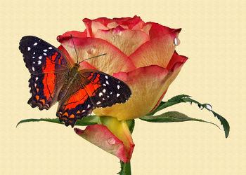 Rose-Schmetterling
