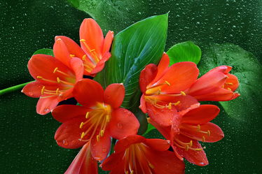 Bild mit Wasser, Pflanzen, Blumen, Rot, Blätter, Blume, Pflanze, Wassertropfen, Fauna, Floral, Blüten, Florales, blüte