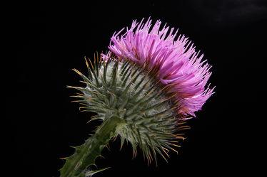 Bild mit Pflanzen, Blumen, Disteln, Blume, Pflanze, Distel, Floral, Stilleben, Blüten, Florales, blüte