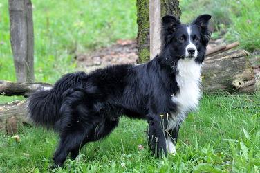 Bild mit Hunde, Hund, Dog, Hundebild, australian shepherd, Border Collie