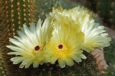 gelbe kaktusblüten