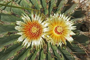 zwei strohfarbene kaktusblüten in nahaufnahme