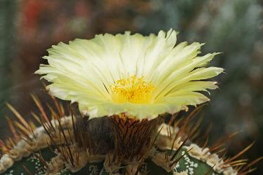 gelbe kaktusblüte