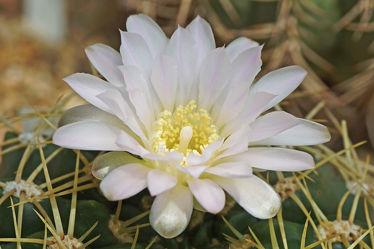 weiÃ?e kaktusblüte