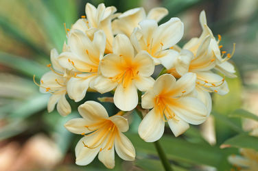 gelbe amaryllis