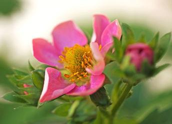 rosa erdbeerblüte