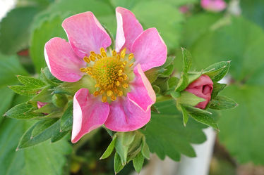 rosa erdbeerblüte mit knospen