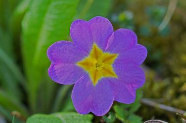 lila primel