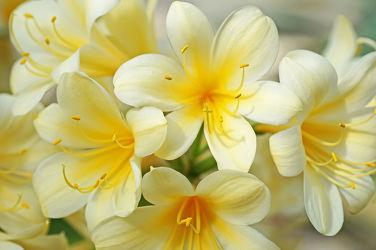 gelbe cliviablüten