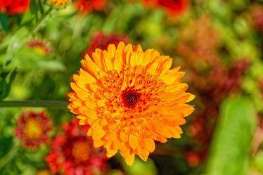 goldene ringelblume