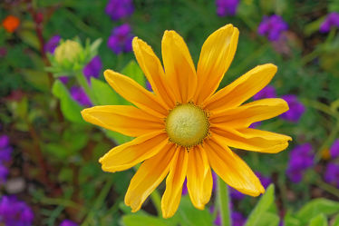 gelbe rudbeckia